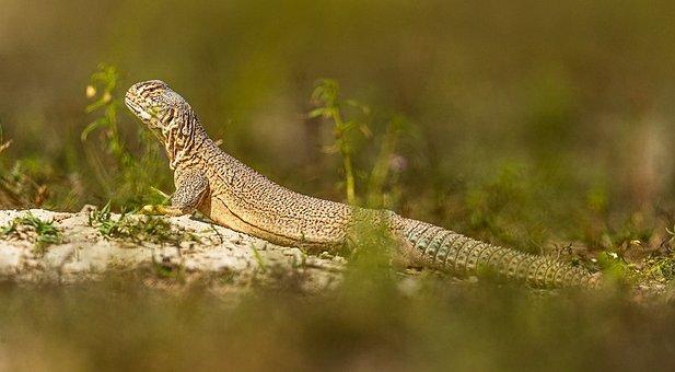 Reptiles, Salamander, Lizard, Gecko, Animal, Nature