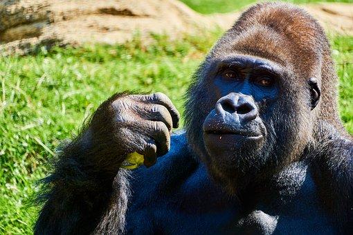 Gorilla, Primate, Animal, Wilderness, Nature