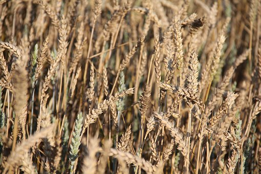 Cereals, Wheat Field, Agriculture, Ripe, Grain