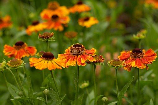 Helenium Waltraut, Sun Hat, Garden, Flowers, Petals