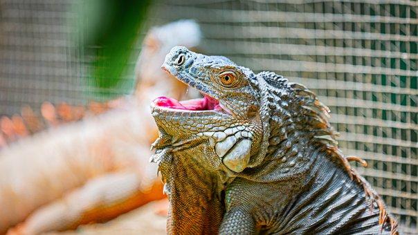 Lizard, Bali, Zoo, Reptile, Dragon, Animal, Indonesia