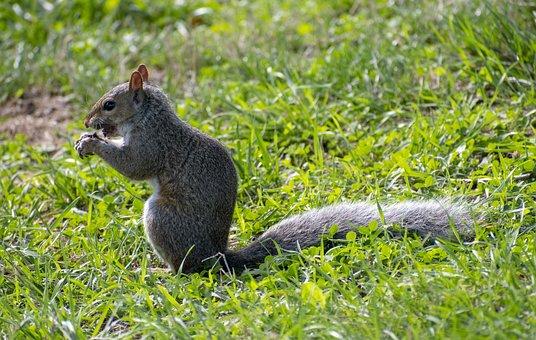 Squirrel, Rodent, Chipmunk, Animal, Nature, Furry