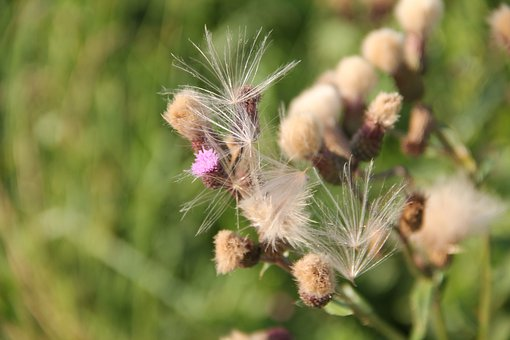 Thistle, Flowers, Plant, Grass, Nature, Meadow, Field