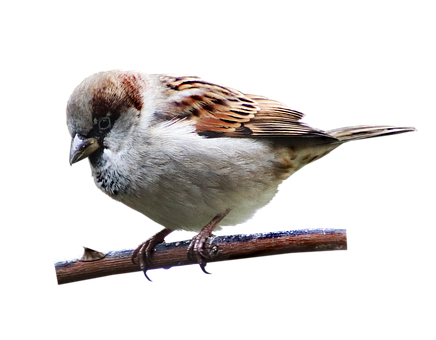 Bird, Sparrow, Wildlife, Perched, Branch, Cut Out