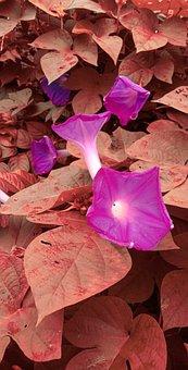Flower, Petals, Poppy, Leaves, Foliage, Plants, Bloom