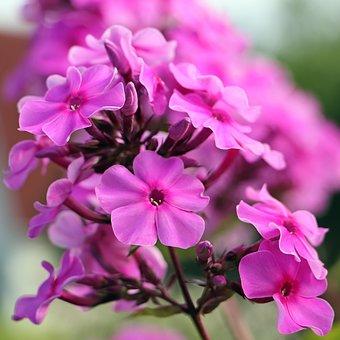 Flowers, Petals, Phlox, Garden, Bloom, Flora