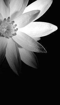 Flower, Plant, Shadows, Black And White, Monochrome