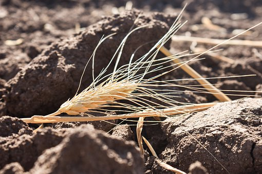 Wheat, Wheat Crop, Farm, Agriculture, Nature, Farming