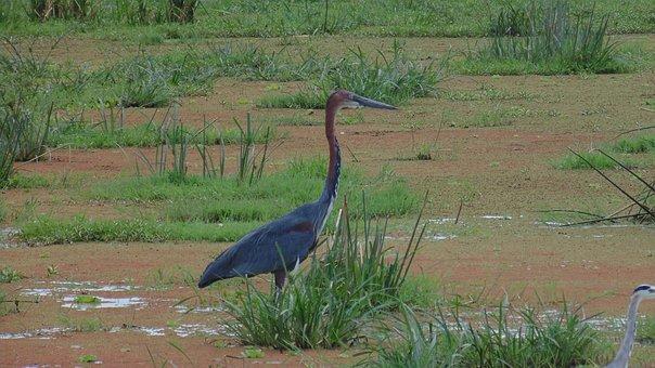 Ave, Bird, Beak, Fethers, Plumage, Animal, Nature, Wild