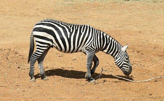 Zebra, Stripes, Striped, Mammal, Wild, Safari, Wildlife