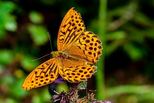 Fritillary, Butterfly, Wing, Antennas, Insect