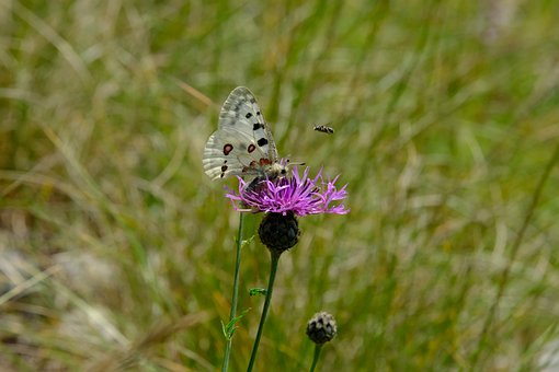 Butterfly, Apollo, Edelfalter, Apollofalter