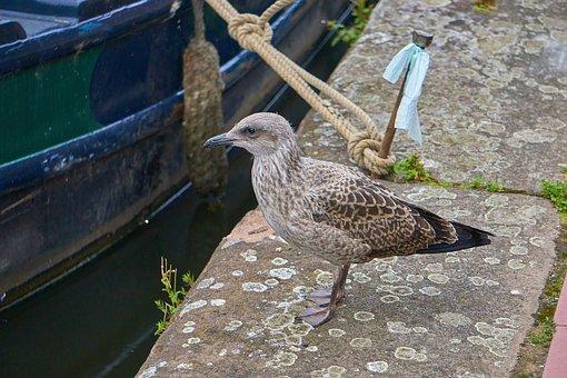 Seagull, Herring, Young, Juvenile, Bird, Beak, Feather