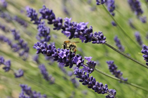 Bee, Lavender, Flowers, Nature, Filed Of Flowers