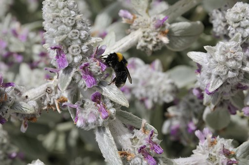 Bumblebee, Bee, Insect, Nature, Flowers, Pollination