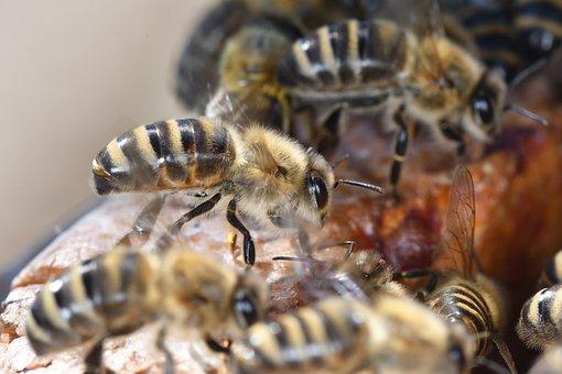 Bee, Insect, Honeybee, Honey, Beekeeper, Beekeeping