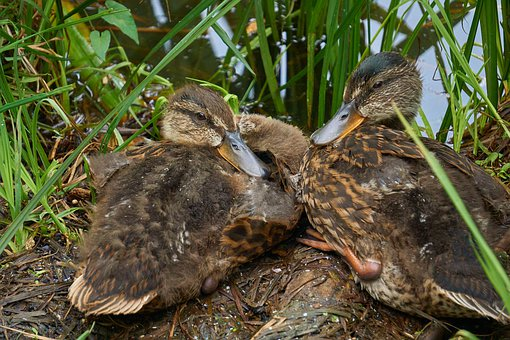 Ducks, Young, Nest, Juvenile, Baby, Bird, Beak, Feather