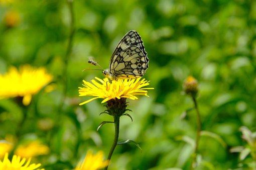 Butterfly, Flower, Daisy, Melanargia Galathea