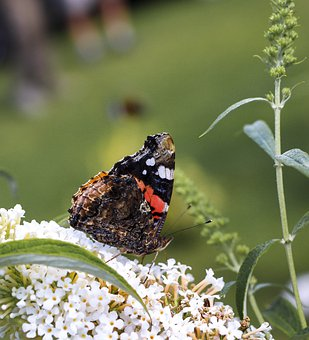 Butterfly, Insect, Flowers, Nature, Summer, Wings