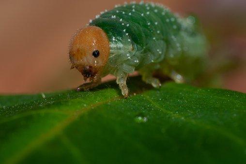 Caterpillar, Curled Rose Sawfly, Allantus Cinctus