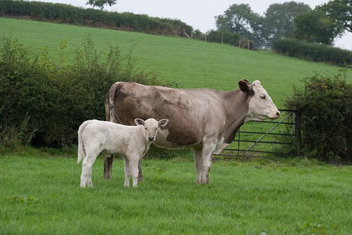 Cow, Calf, Bovine, Animals, Countryside, Rural