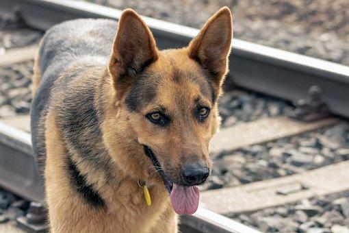 Dog, Canine, Pet, Domestic, Animal, German Shepherd