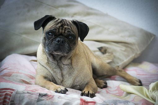 Pug, Dog, Pet, Animal, Cute, Canine, Small, Doggy