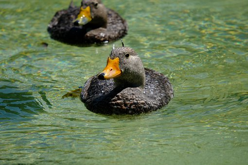 Ducks, Birds, Beak, Feathers, Plumage