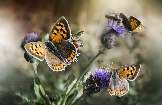 Butterflies, Insect, Nature, Thistle, Flowers, Wings