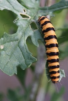 Caterpillar, Blood Bear, Insect, Bug, Leaf, Foliage
