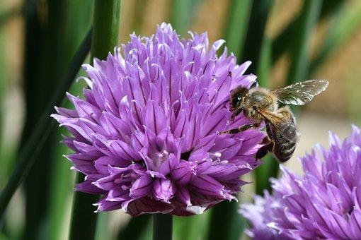 Bee, Insect, Flower, Petals, Pollen, Honeybee, Honey