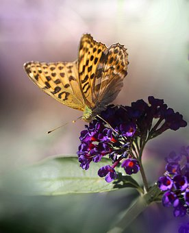 Butterfly, Insect, Nature, Violet Flowers, Garden