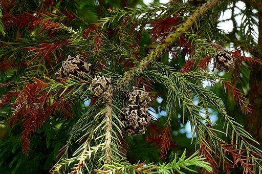 Cones, Leaves, Cryptomeria Seeds, Japanese Cypress