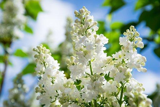 Lilac, Flower, Bloom, Spring, Nature, Garden, White
