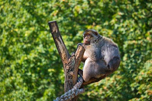 Monkey, Ape, Barbary Ape, Barbary Macaque, Macaque, Zoo