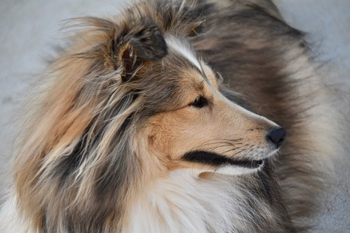 Dog, Canine, Shetland Sheepdog, Female, Animal, Mammal