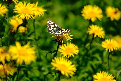 Butterfly, Flower, Melanargia Galathea, Satyrinae