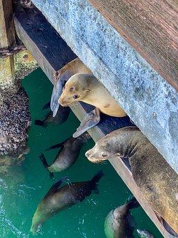 Seals, Monterey, Ocean, Sea Lions, Pinnipeds