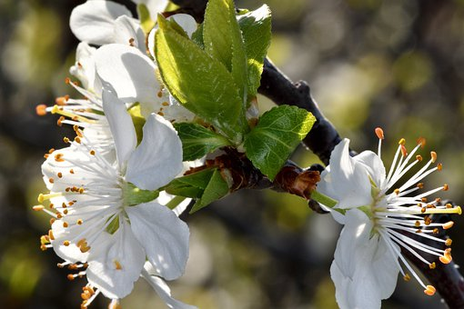 Apple Tree, Flowers, Leaves, Buds, Branch, Nature
