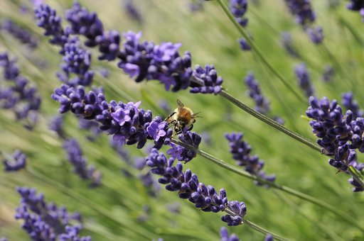 Bee, Lavender, Flowers, Nature, Pollination