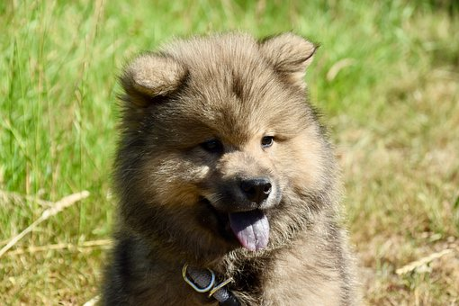 Puppy, Eurasier, Dog, Pet, Cute, Adorable, Doggy