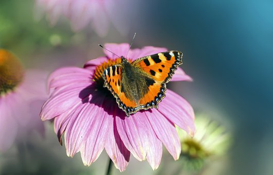 Butterfly, Insect, Wings, Purple Coneflower, Close Up