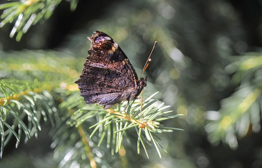 Butterfly, Insect, Nature, Tree, Spruce, Needle Rollers