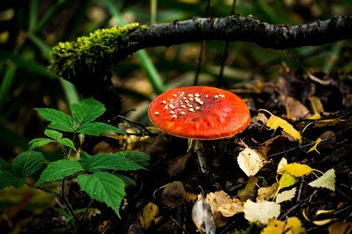 Fly Agaric, Fungi, Nature, Mushroom, Toadstool, Fungus