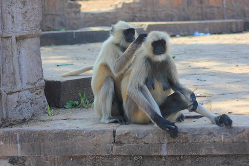 Monkey, Primate, Langur, Mammal, Macaque, Wild, Animal
