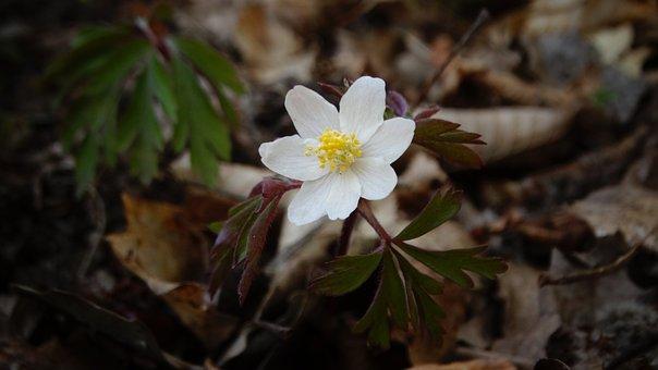 Flower, Wild Flower, Wood Anemone, White Flower, Woods