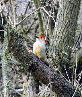 Woodpecker, Bird, Tree, Outdoors, Perched, Woods
