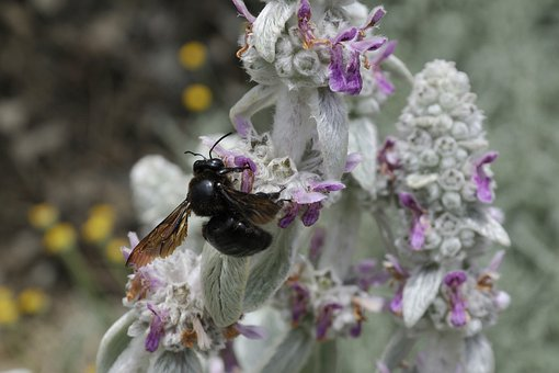 Violet Carpenter Bee, Xylocopa Violacea, Bee, Insect