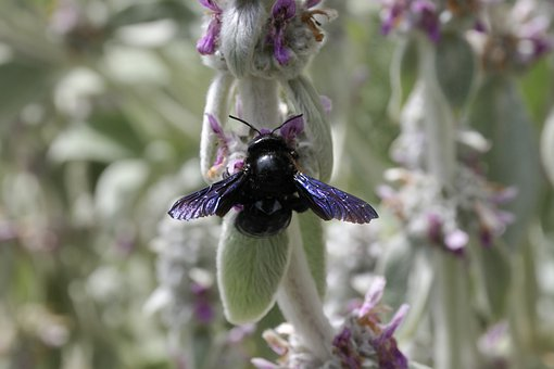 Bee, Violet Carpenter Bee, Xylocopa Violacea, Insect