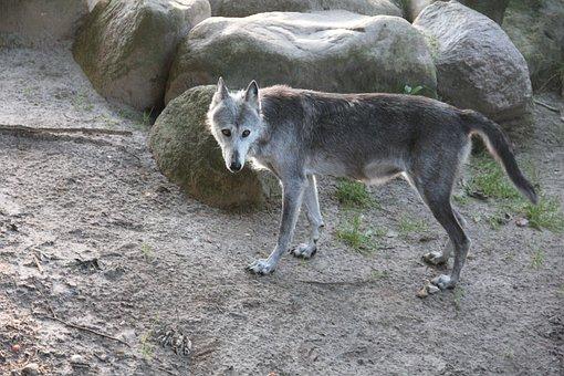 Wolf, Zoo, Denmark, Givskud, Gray Wolf, Canine